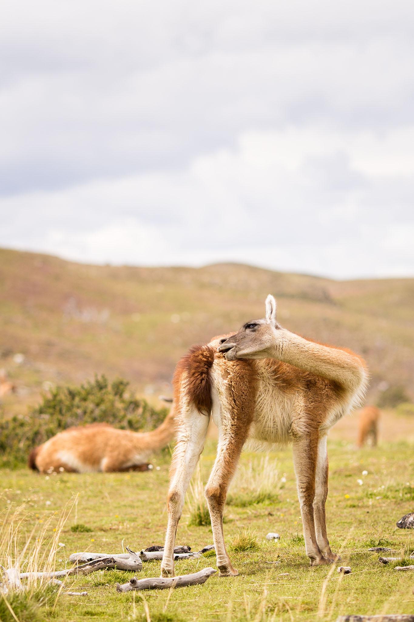 Wedding-Travellers-Overlanding-Destination-Wedding-Chile-Torres-del-Paine-guanaco-lama-llama-tres-torres-cute-funny