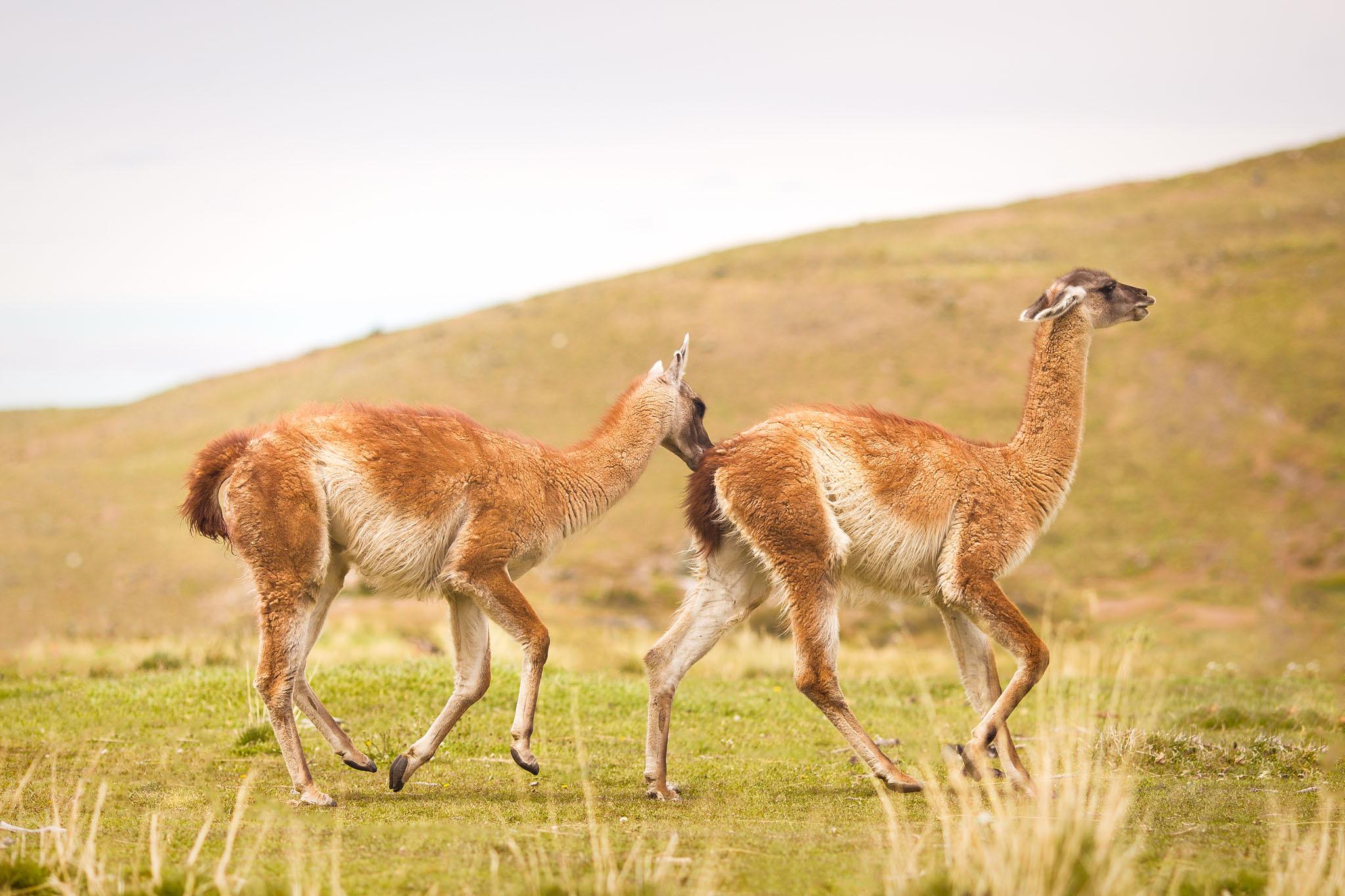 Wedding-Travellers-Overlanding-Destination-Wedding-Chile-Torres-del-Paine-guanaco-lama-llama-tres-torres-funny