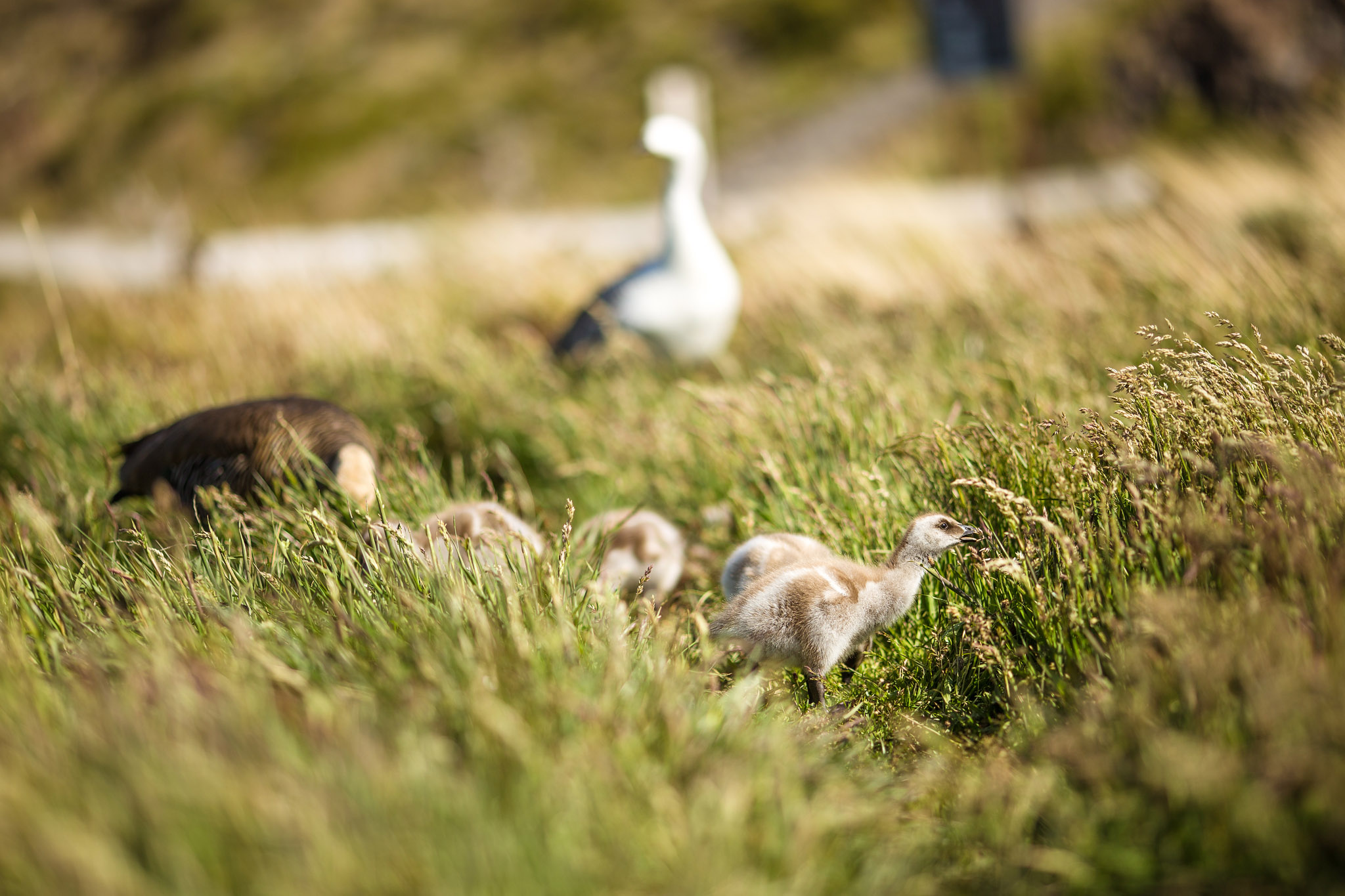 Wedding-Travellers-Overlanding-Destination-Wedding-Chile-Torres-del-Paine-Valle-wild-goose-bird-chicks-goslings-nature
