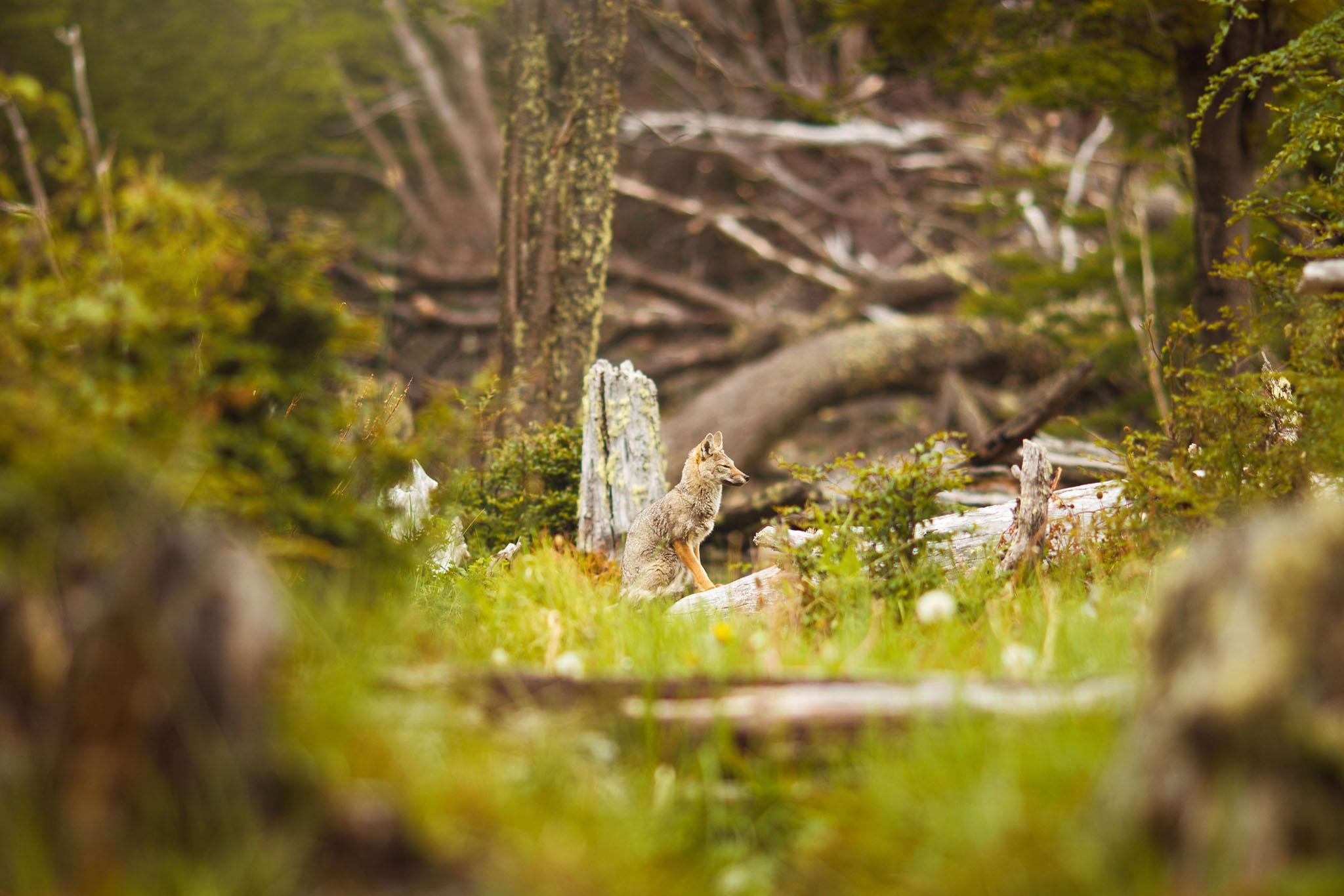 Wedding-travellers-ushuaia-argentina-fox