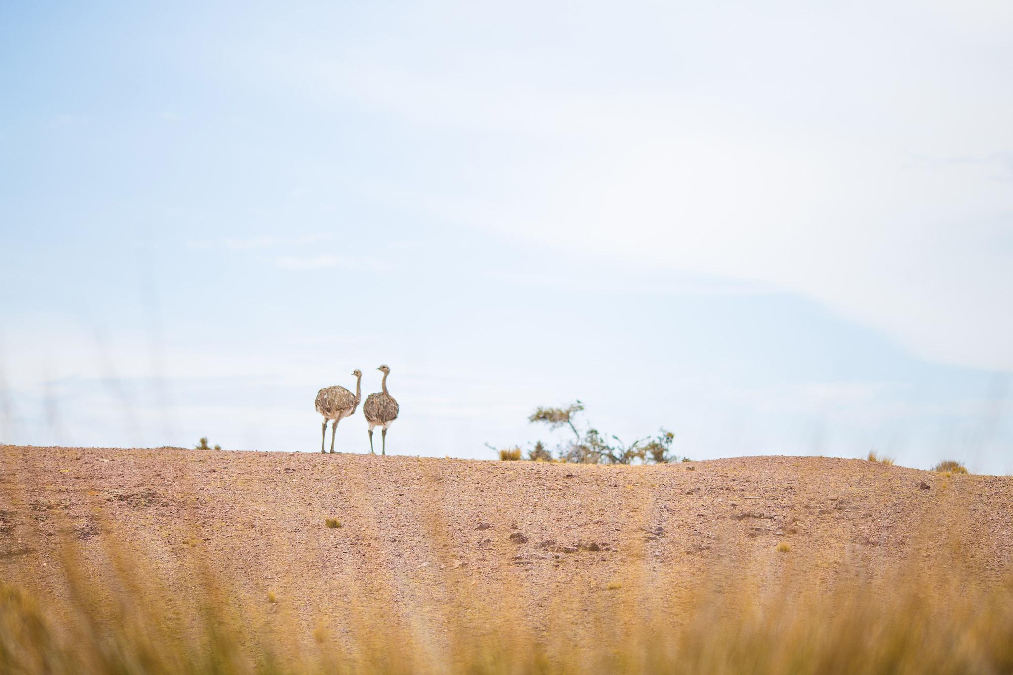 wedding-travellers-argentina-camarones-nandu-rhea