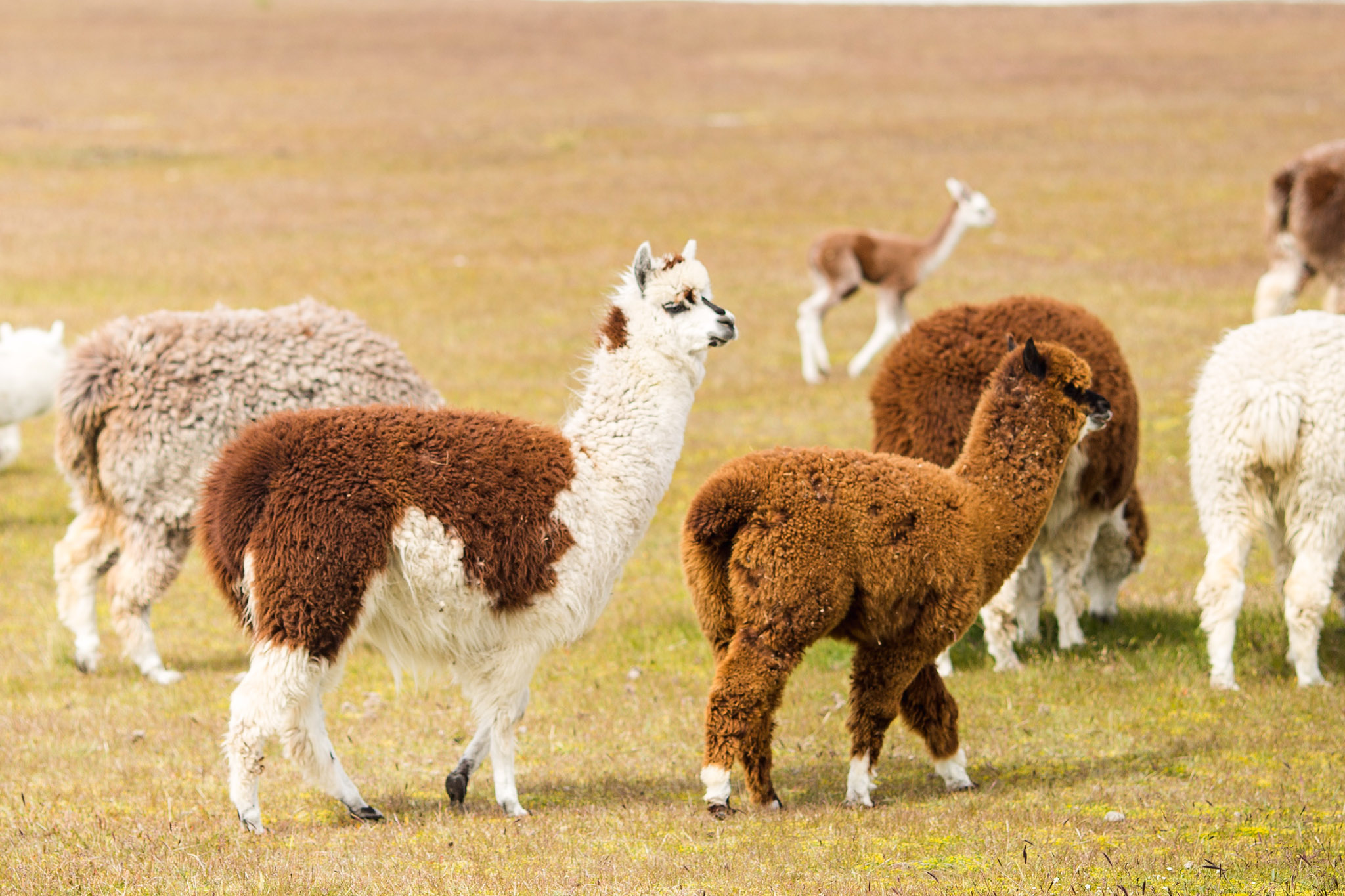 wedding-travellers-argentina-tierra-del-fuego-alpaca