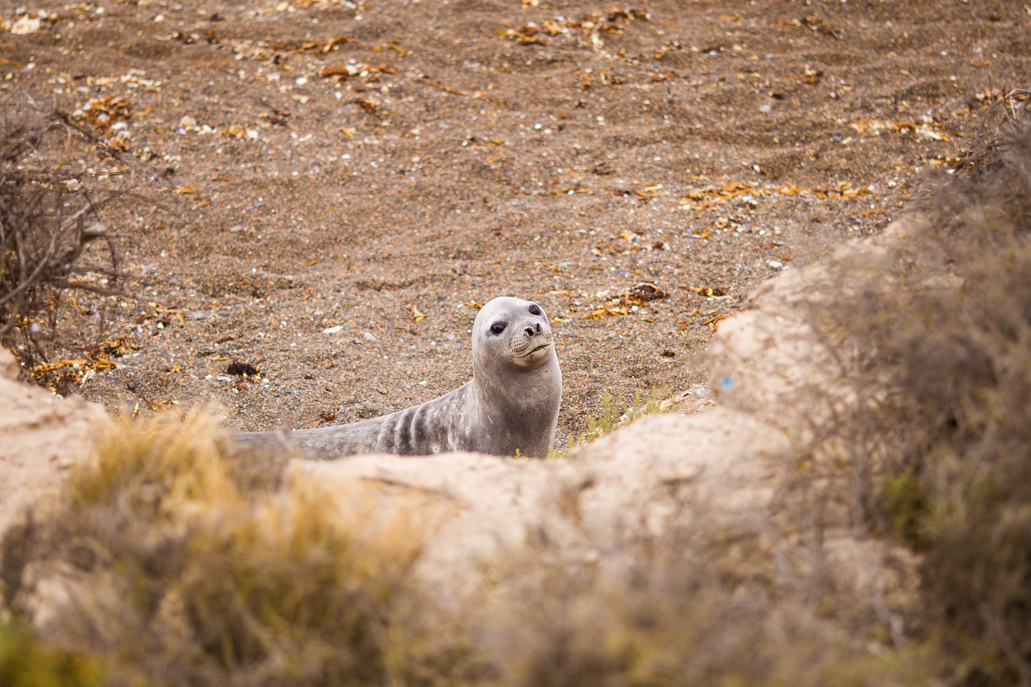 wedding-travellers-argentina-peninsula-valdes-elephant-seal