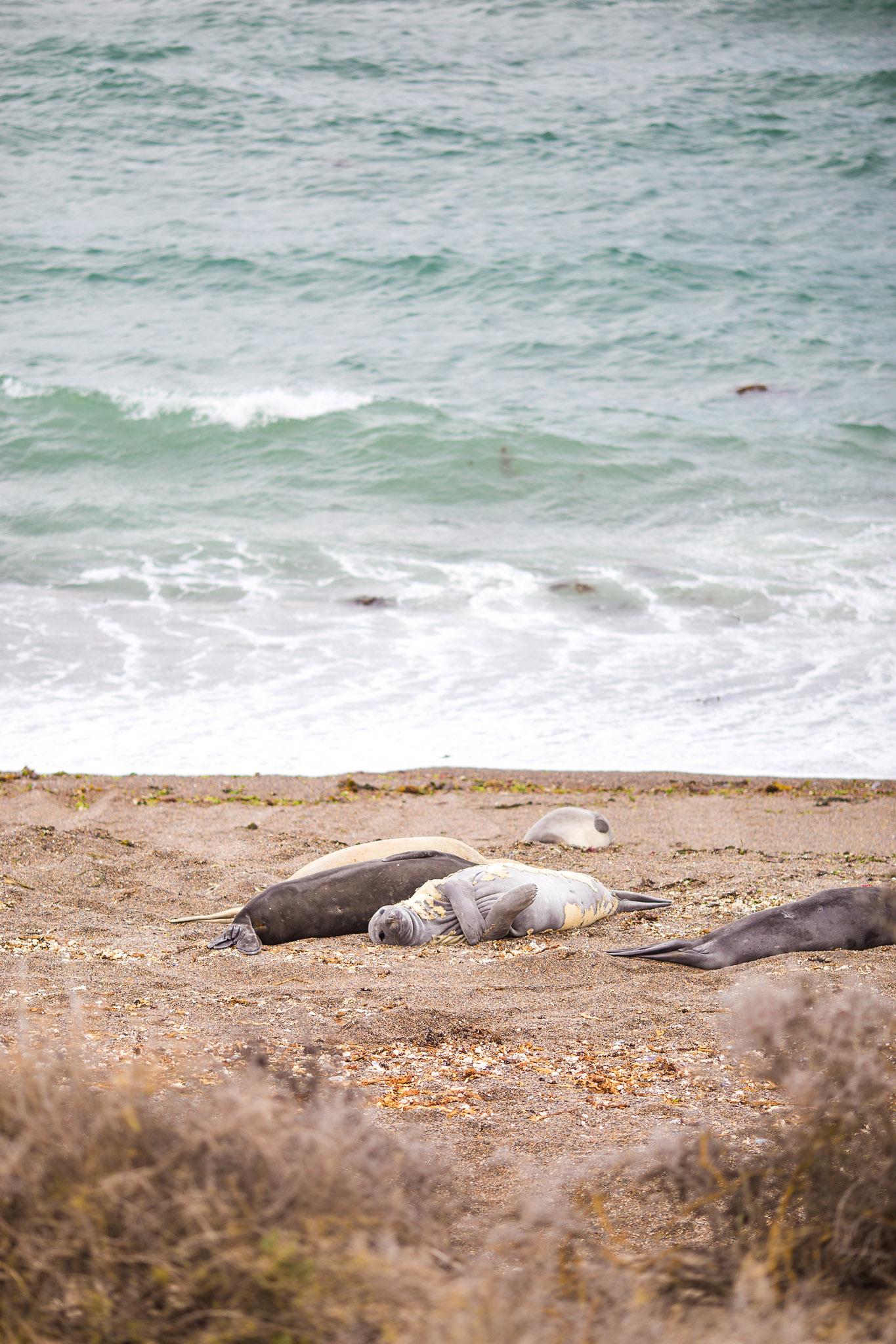 wedding-travellers-argentina-peninsula-valdes-elephant-seal-shore-coast-beach