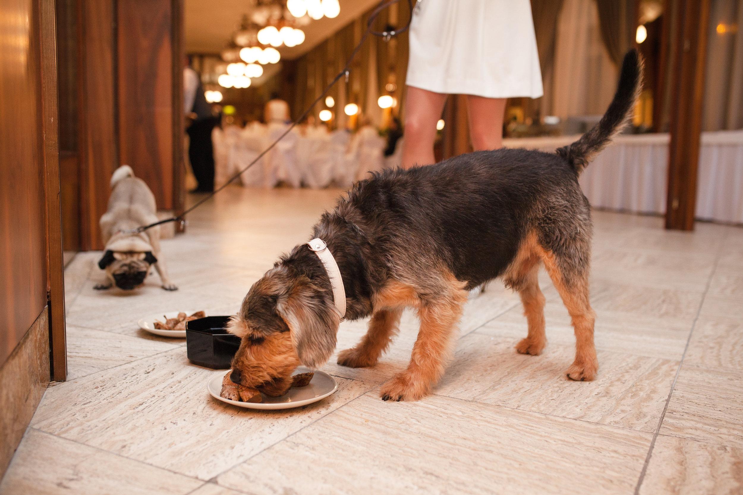 destination-wedding-photographer-slovakia-bratislava-reception-dogs-eating-2.jpg