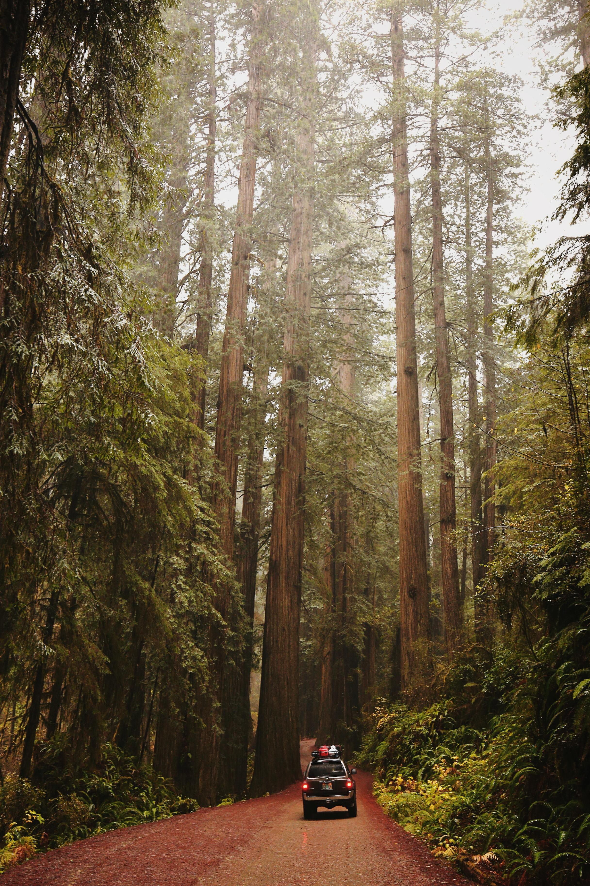 Helga in redwoods - 4runner awesomeness.JPG