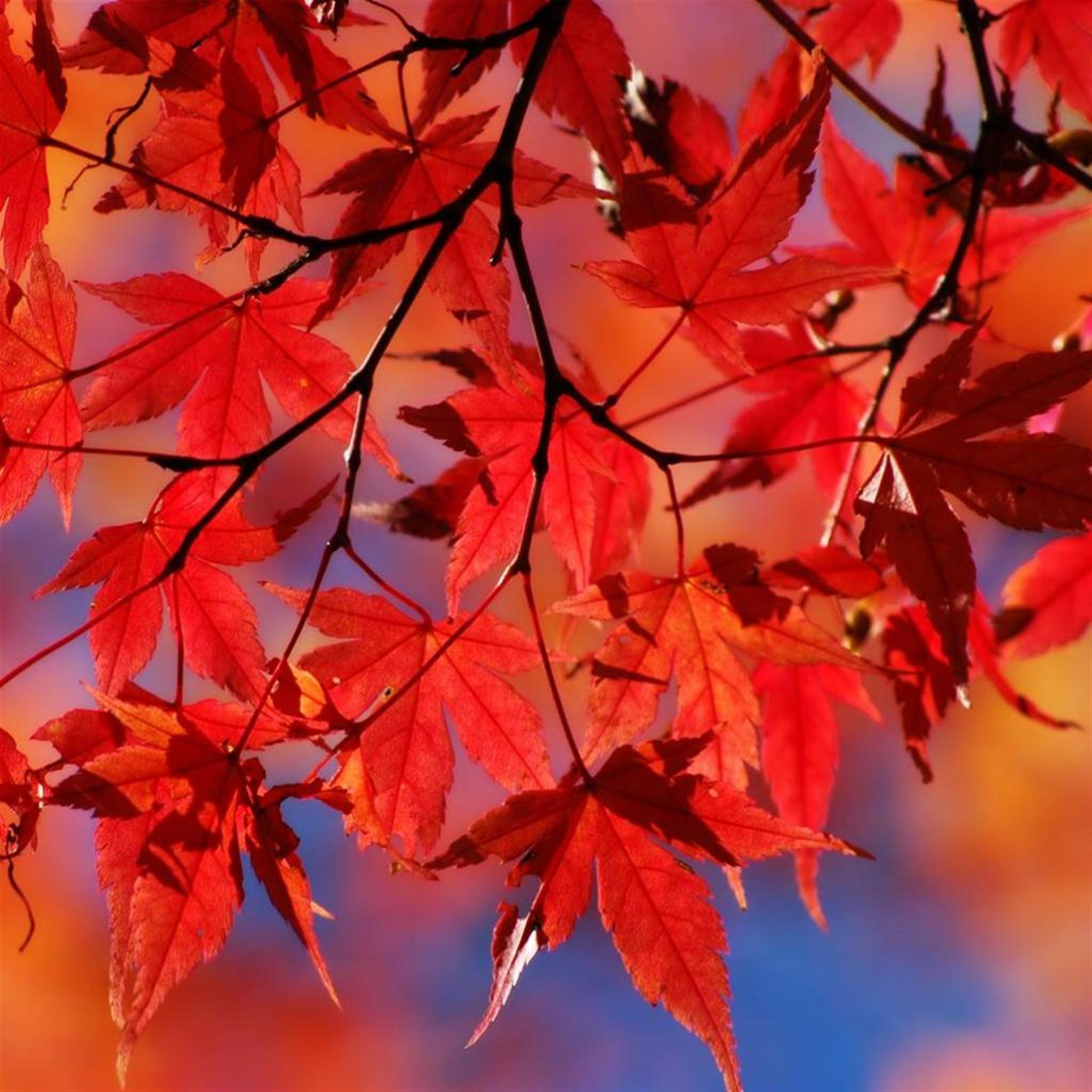 Beautiful-Autumn-Red-Maple-Leaf-Branch-ipad-air-wallpaper-ilikewallpaper_com.jpg