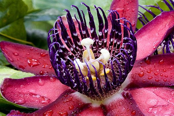 Wing-stem passion flower