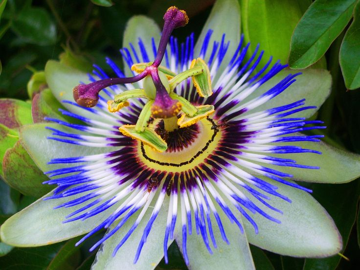 Bluecrown passionflower