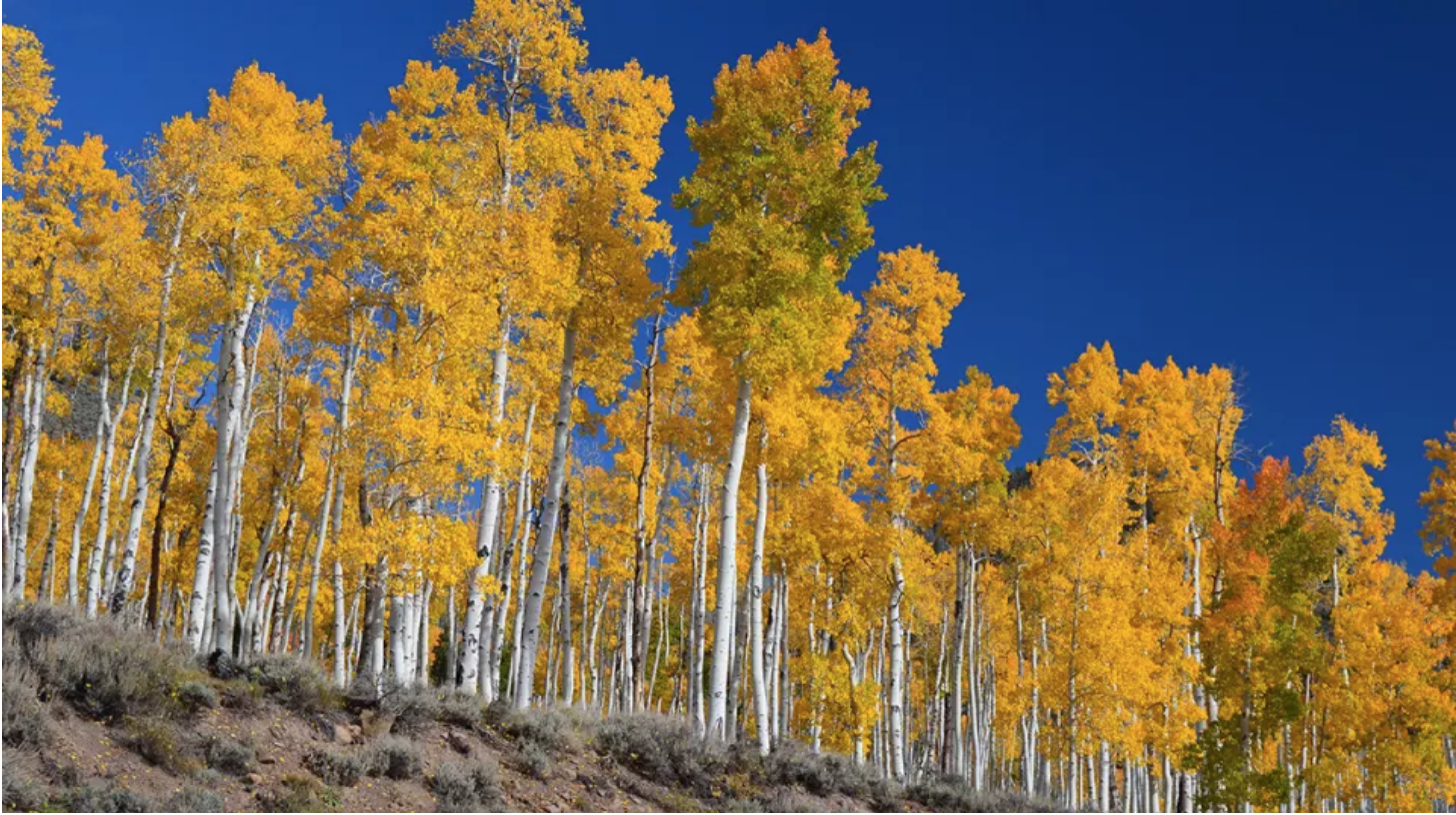 This Quaking Aspen Forest is Trembling Under Our Watch