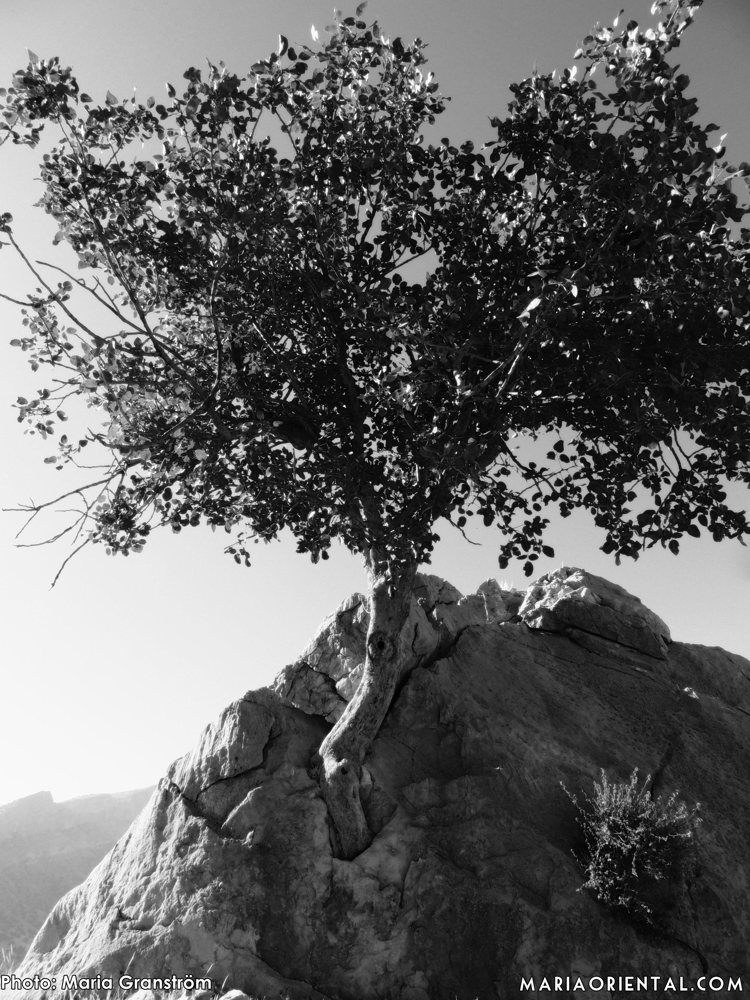På väg till Shapourgrottan såg vi ett träd som till synes växte direkt ut en klippa.