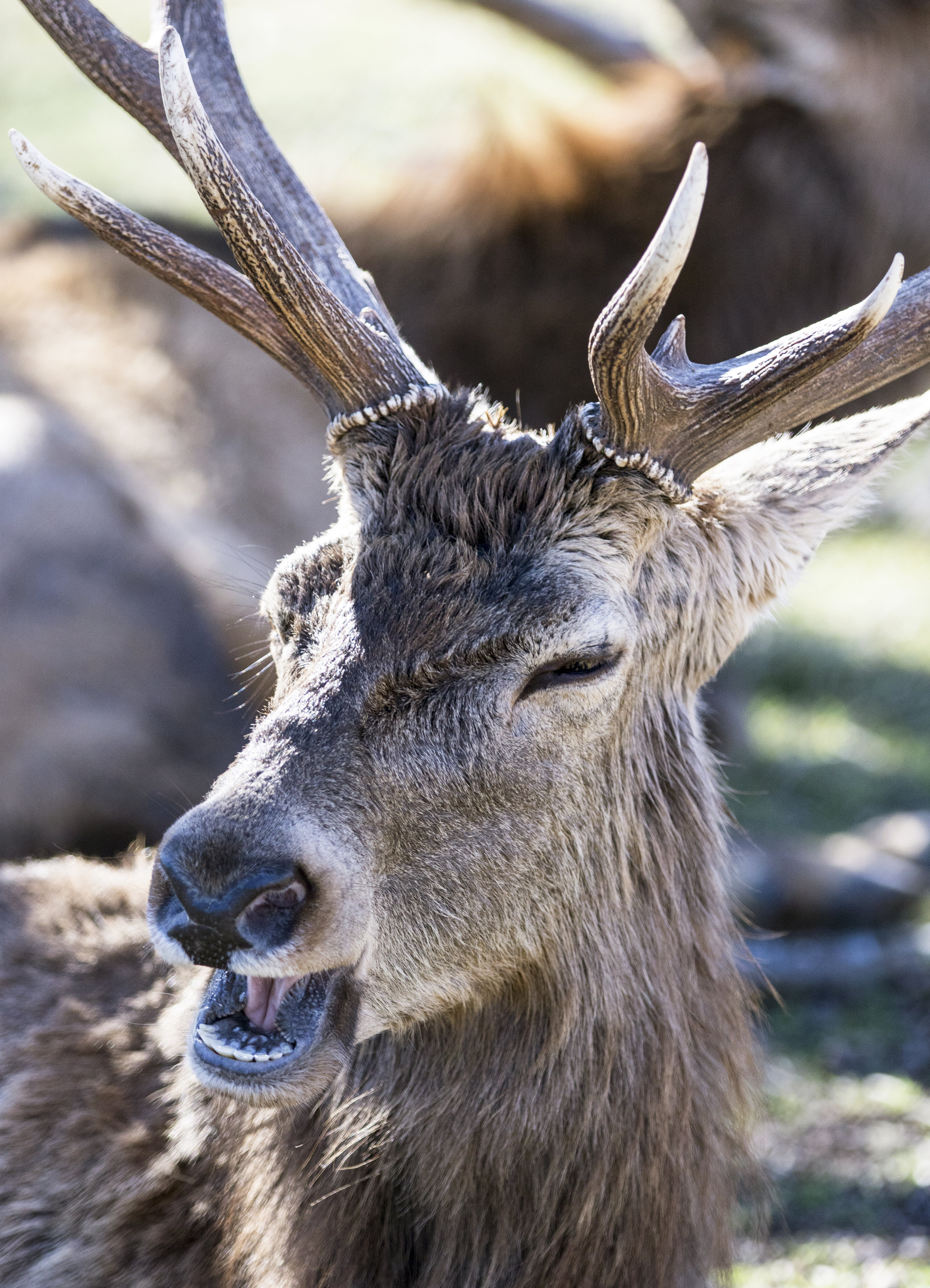 Deer Yawning.jpg