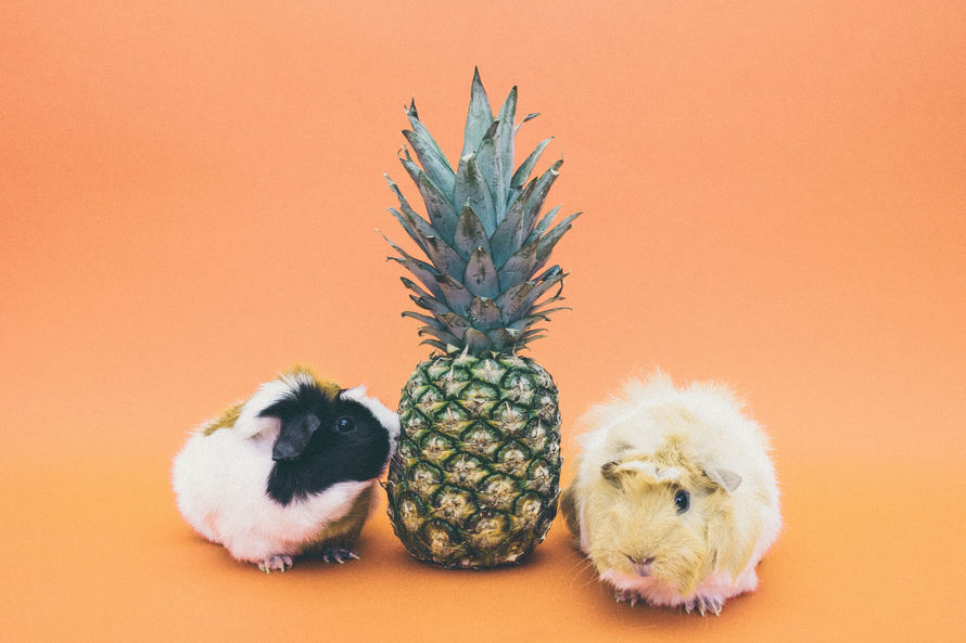 guinea pigs & pineapple