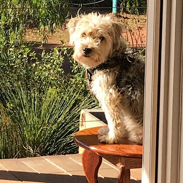 Who else gets this look on a Sunday morning 😆 Come on hooman finish your breakfast and take me for a walk !⁣ .... and yes sitting on the table might get me more attention 😉⁣ .⁣ .⁣ .⁣ .⁣ .⁣ .⁣ .⁣ #perthisok #perthlife #perth #perthfood #perthcafe #perthgirlboss #perthcoffee #urbanlistedperth #urbanlisted #perthblogger #greenjuice #greensmoothie #healthy #activeinperth #perthfitfam #healthylifestyle #healthblogger #girlboss #cleanse #almondmilk #thepurepress  #love #protein #motivate #soperth #perthfitfam #vegan #dairyfree #paleofood #bbg