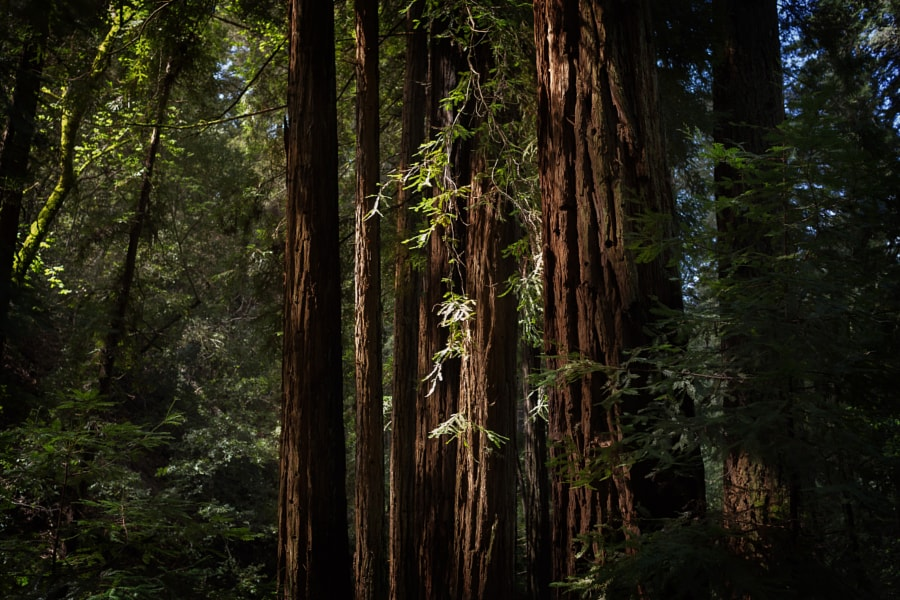 Napa Redwoods