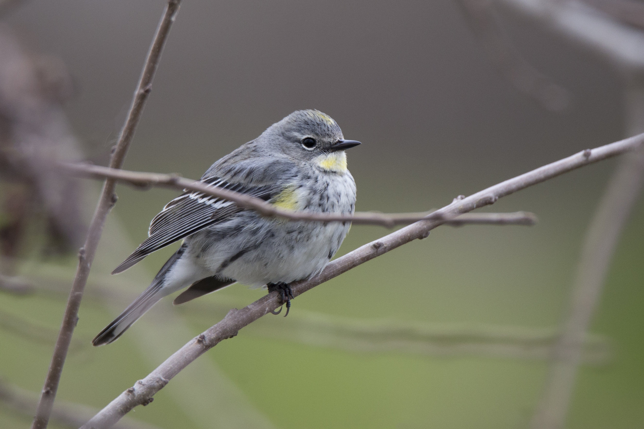 yellowrumpedwarbler1.jpg