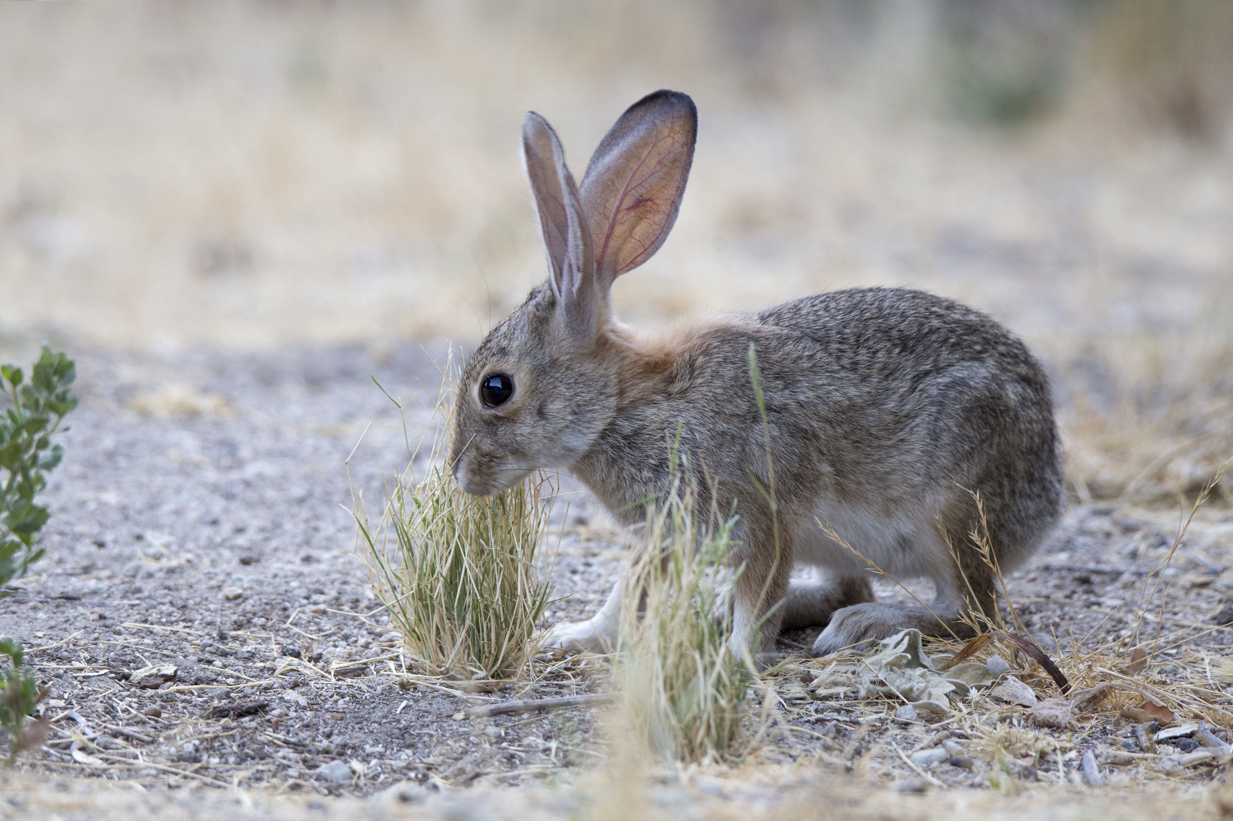 pinnacles_rabbit1.jpg
