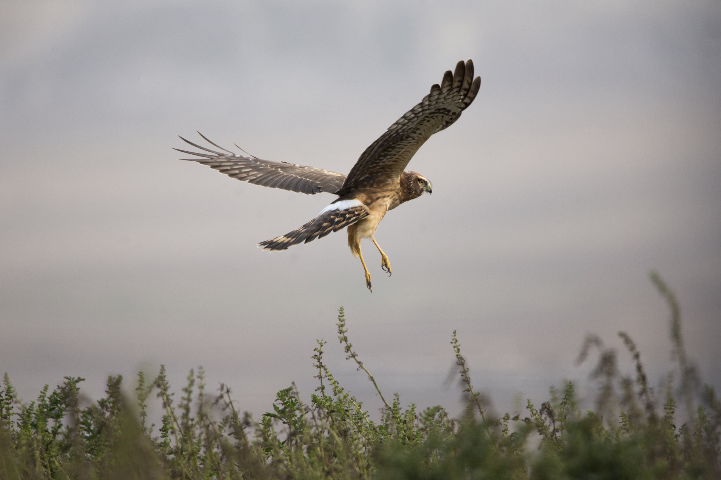 ptreyes_northernharrier2.JPG