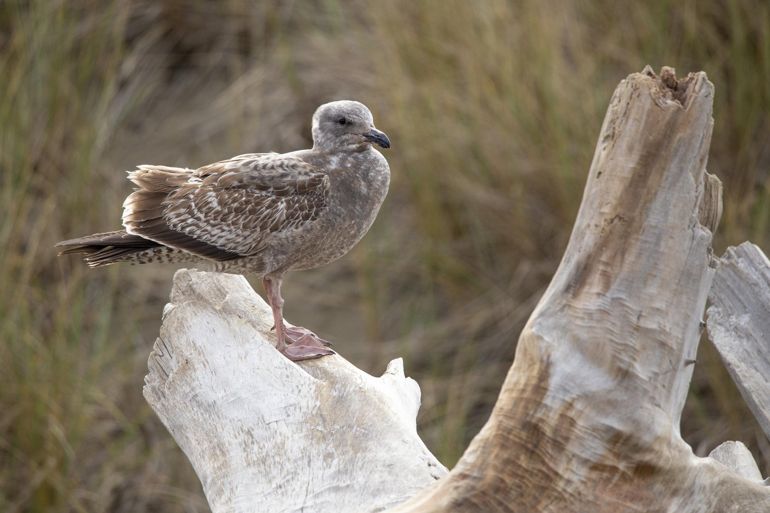 BodegaBay-Seagull1.jpg