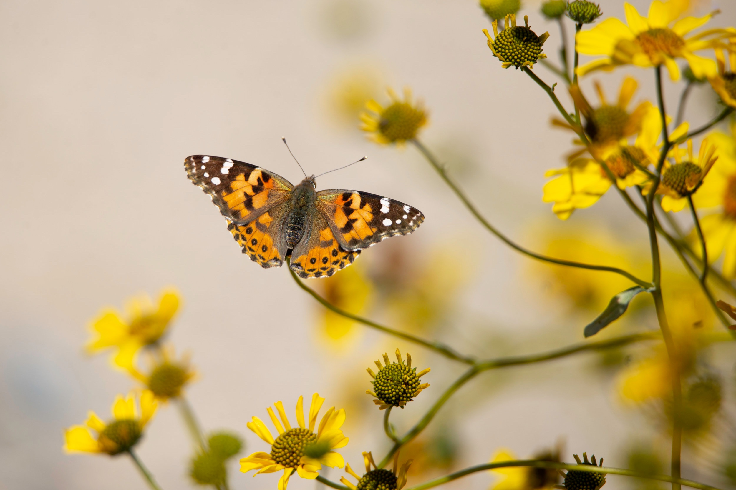 deathvalley-butterfly1.jpg