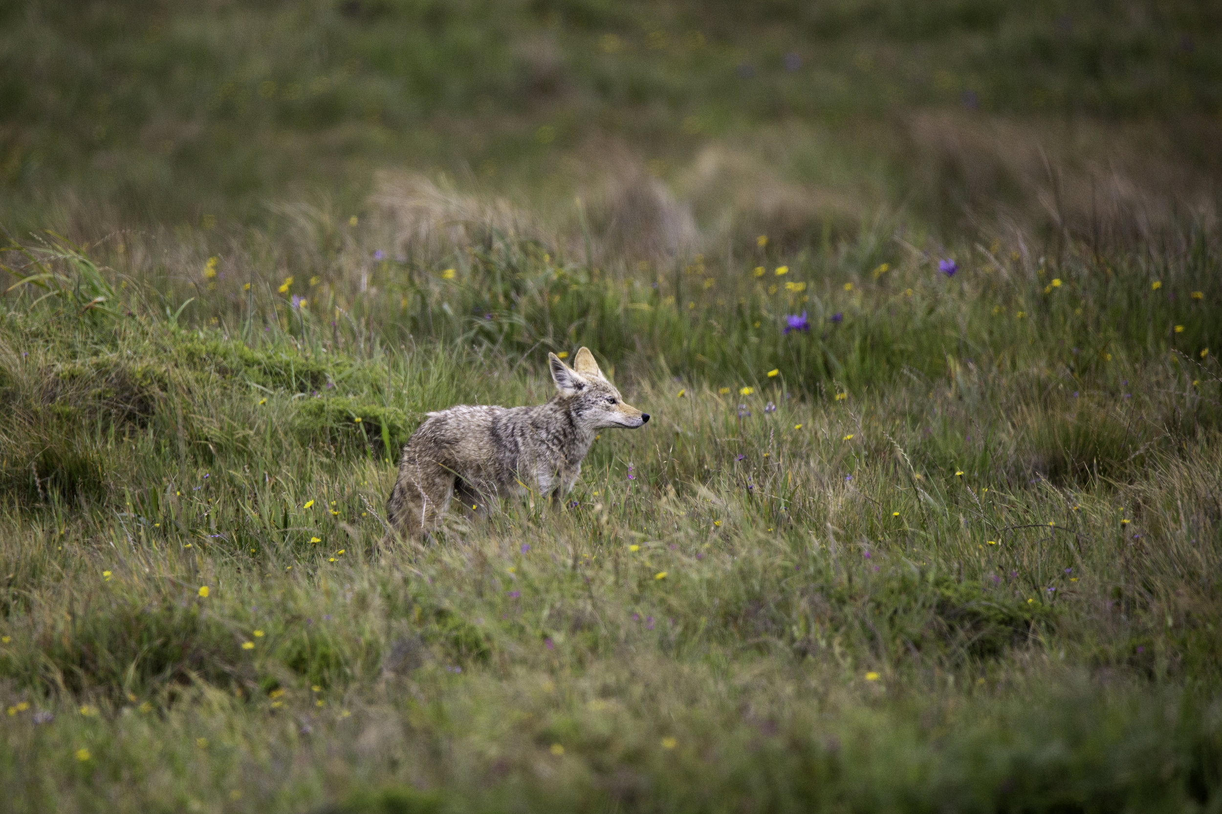 pointreyes-coyote1.jpg