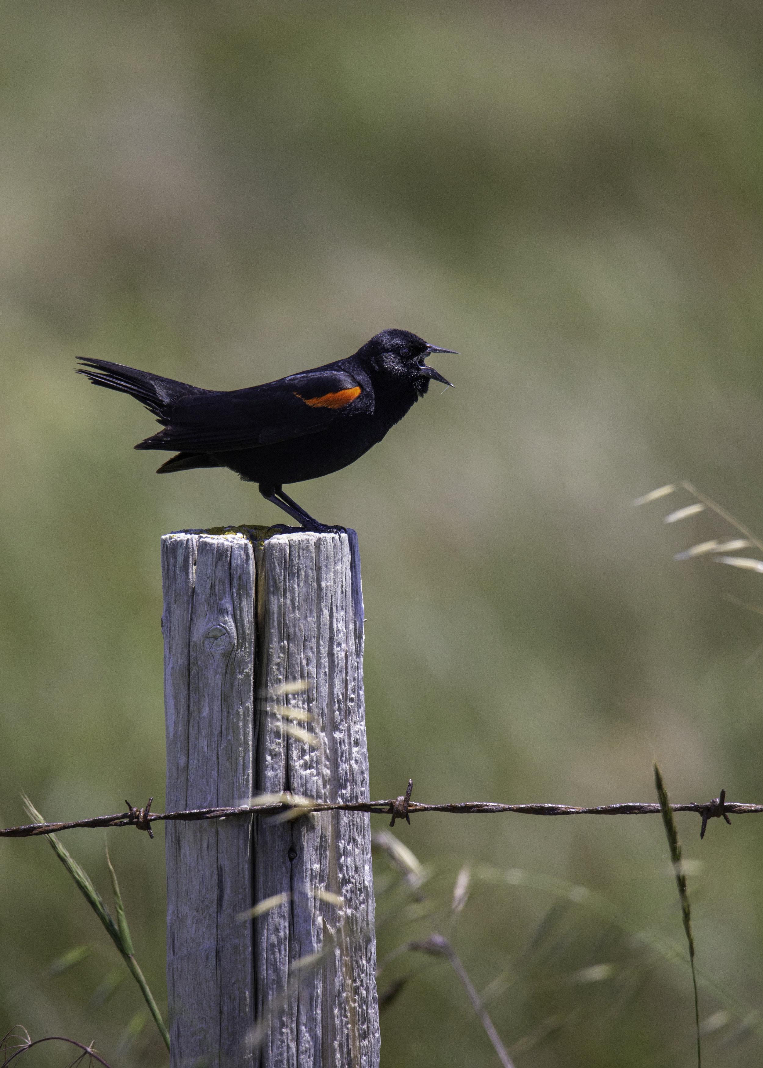 pointreyes-redwingedblackbird1.jpg