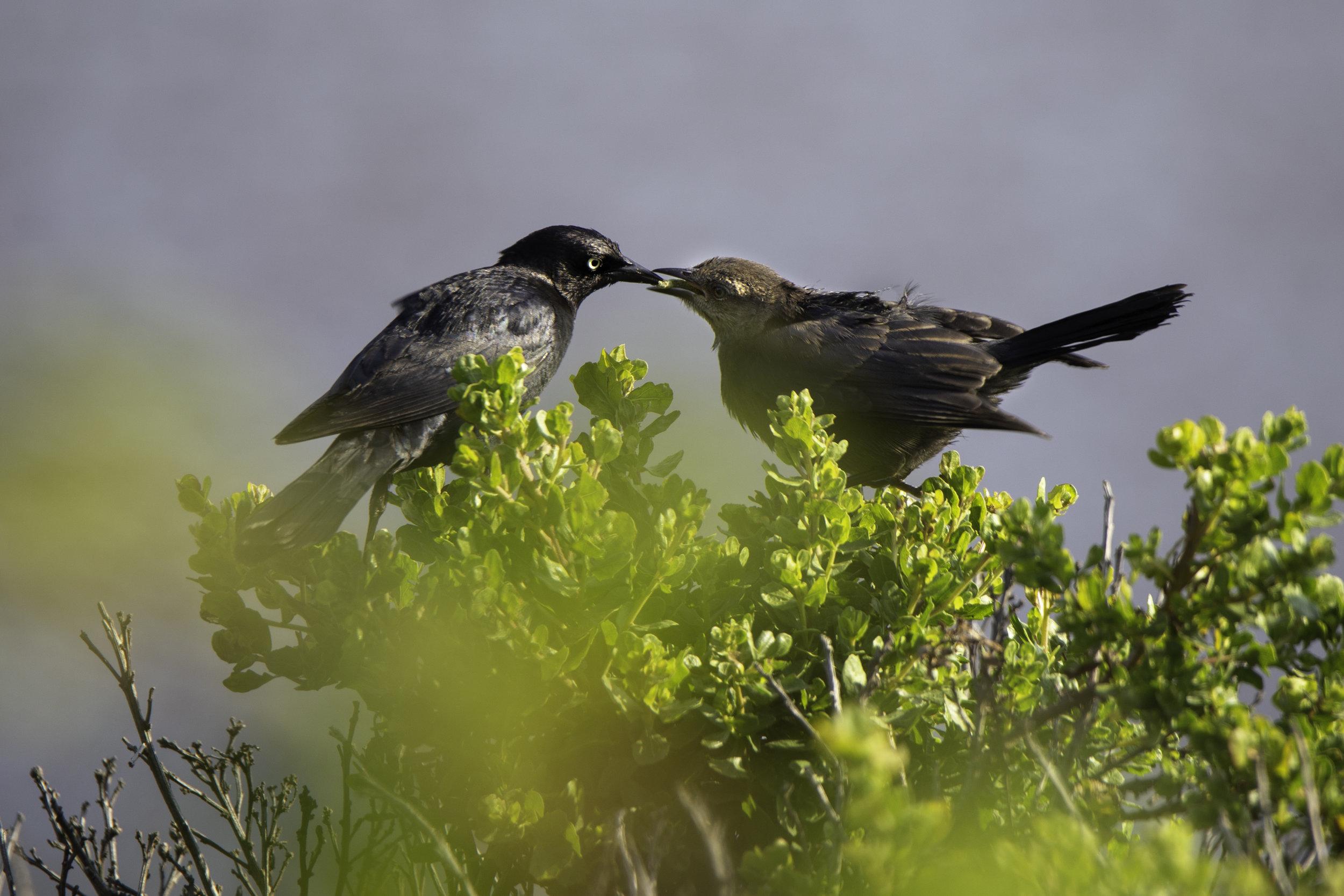 pointreyes-blackbirds1.jpg