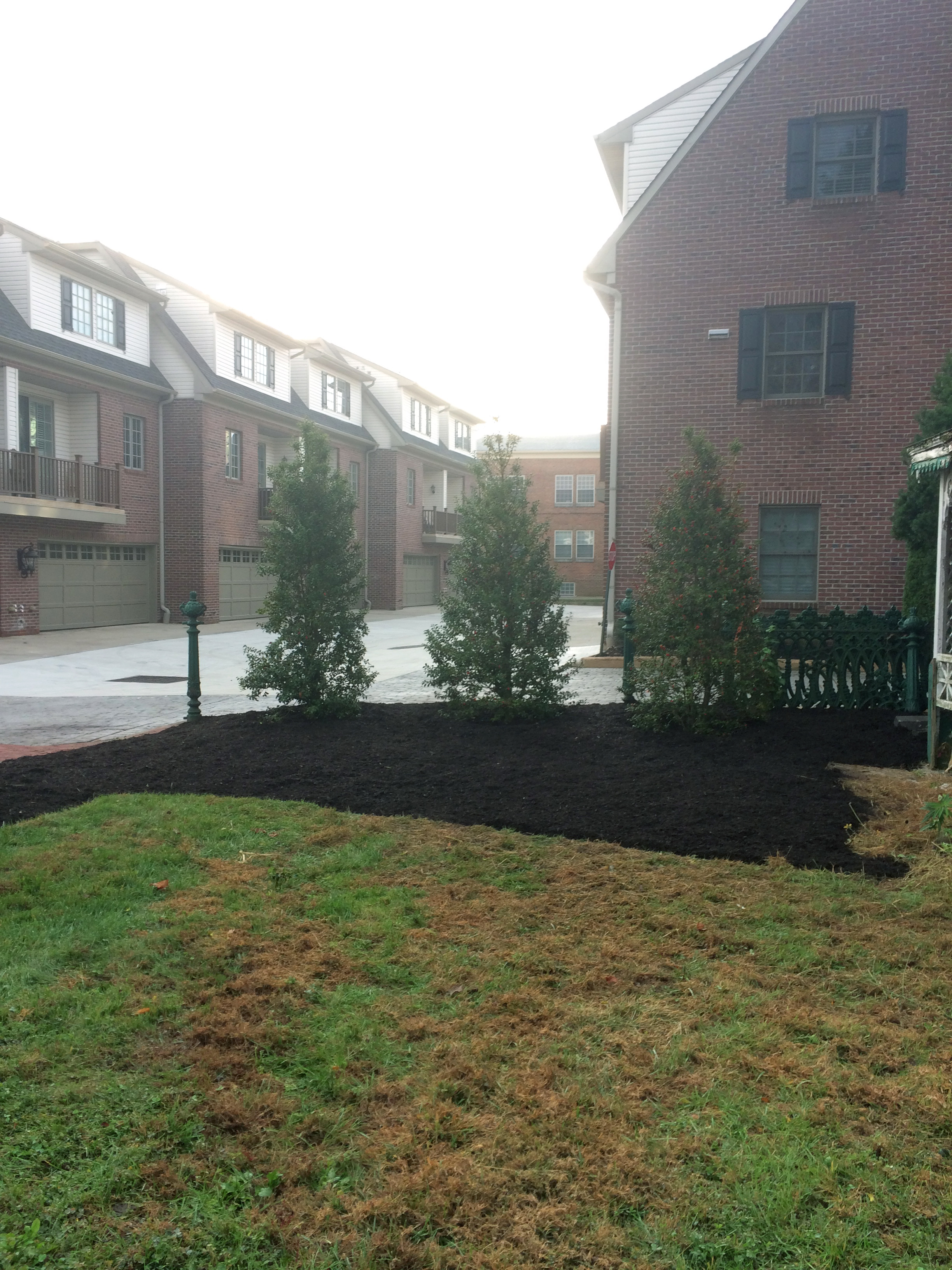 Holly Trees after