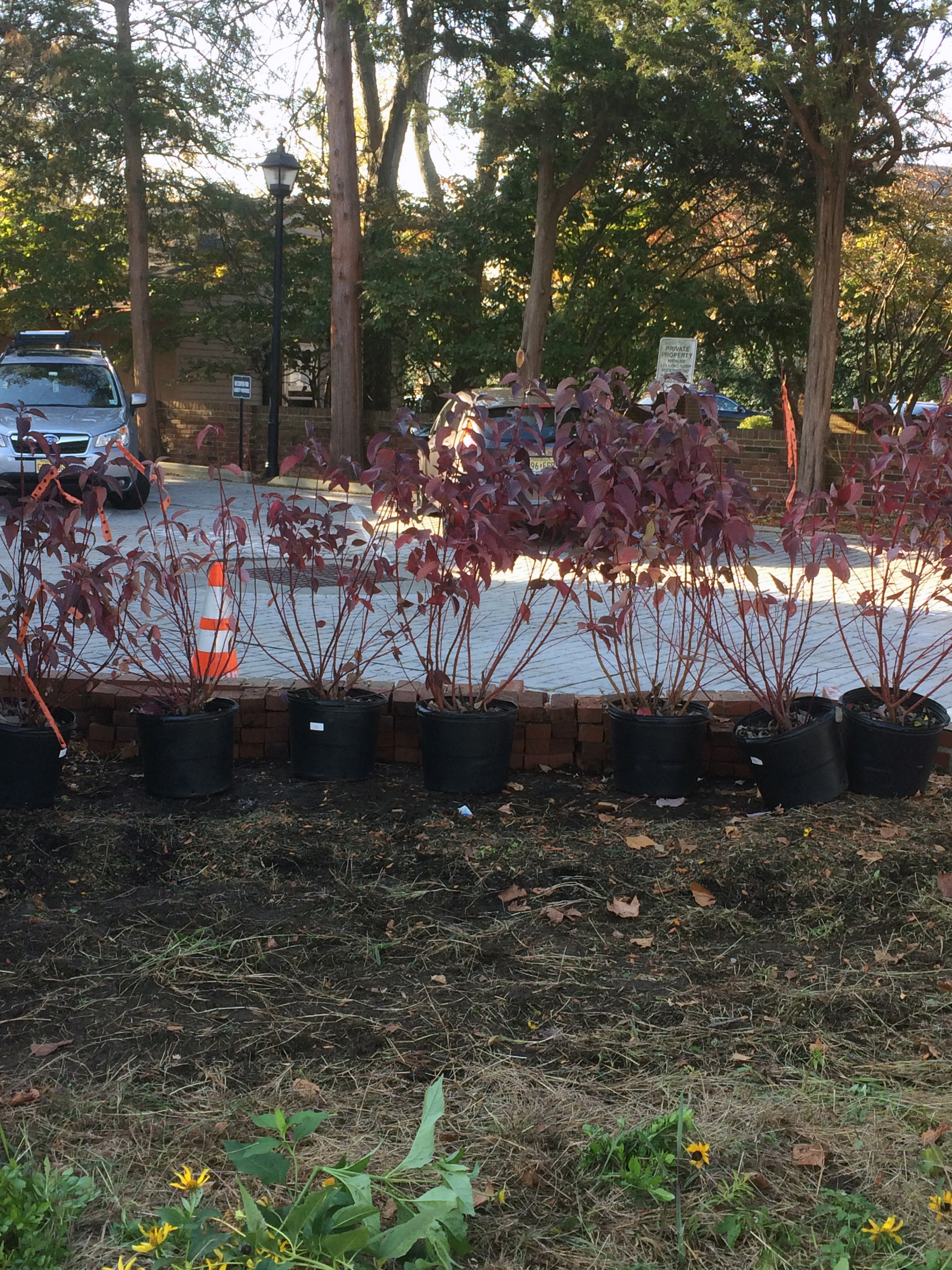 Red Twig Dogwood before