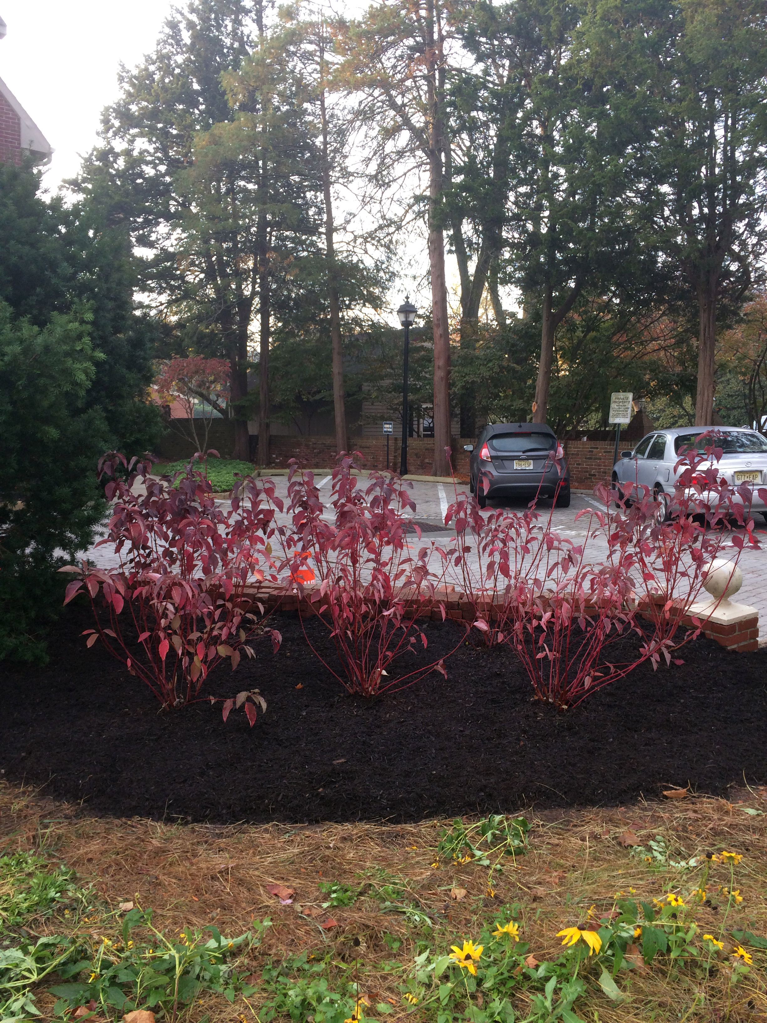 Red Twig Dogwood after