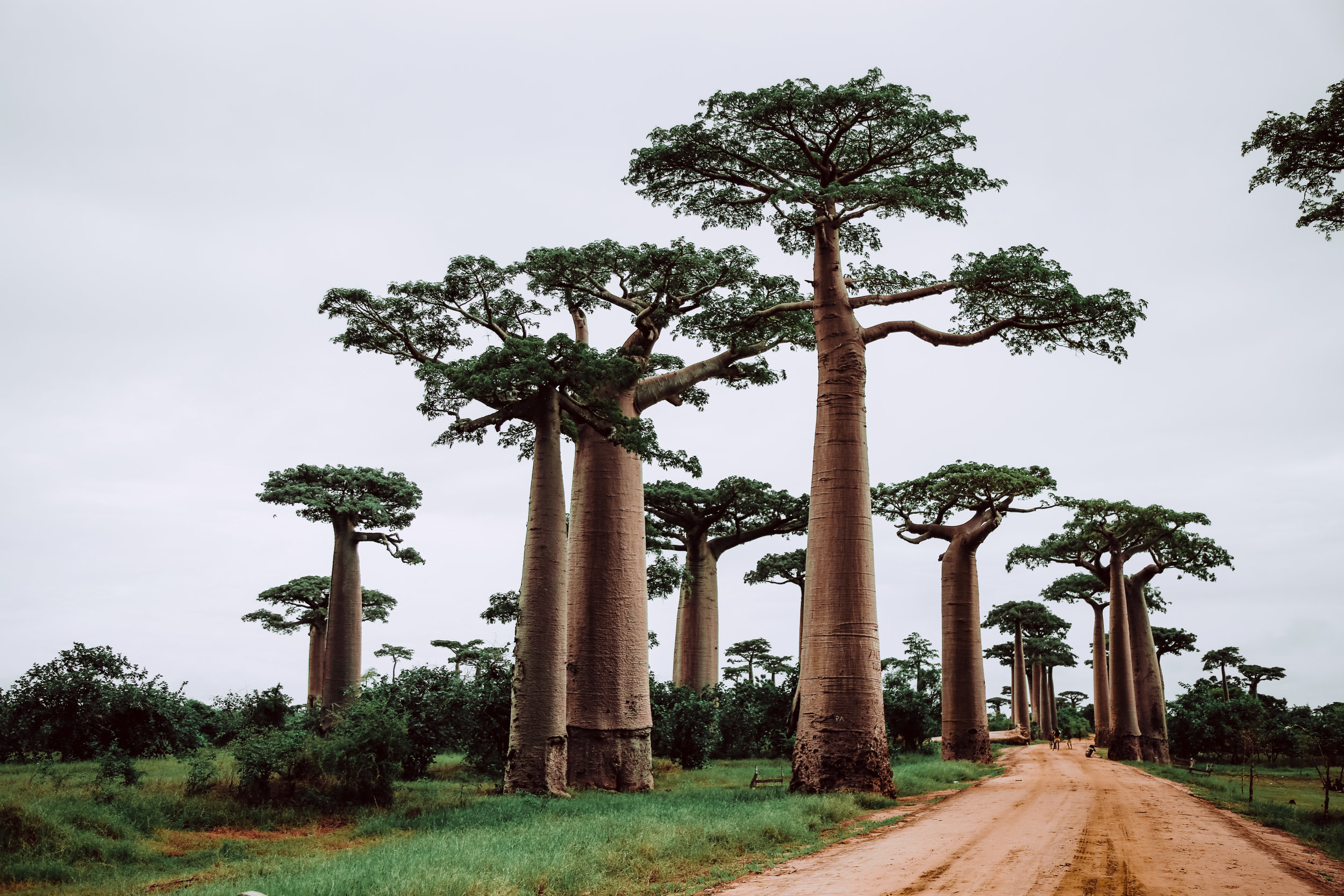 Baobab trees grow in Africa, Australia and any arid region. They can live for over 2,000 years. They are truly giants - their trunks are so big, a pub has been built in a hollow trunk measuring 150ft.