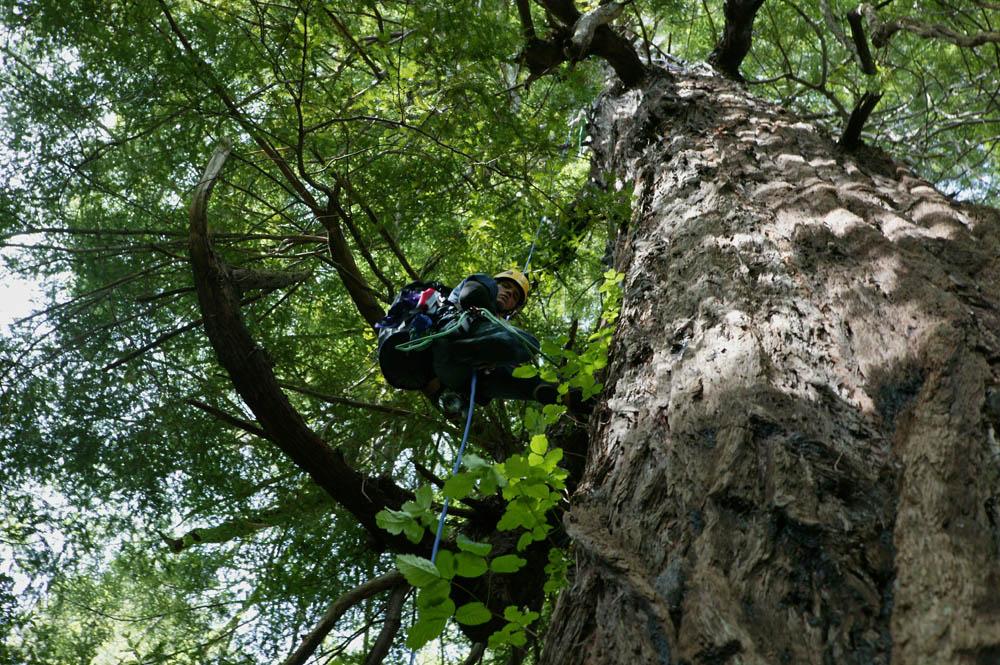 Moloughney Designs Big tree research