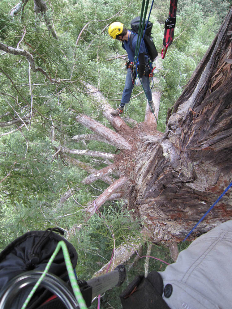 Moloughney Designs Big tree research 08