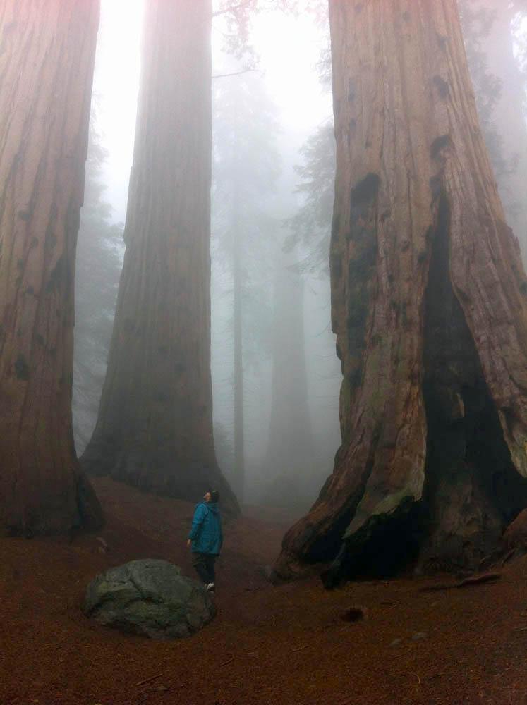 Moloughney Designs Big tree resaerch 11