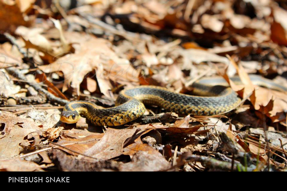 Pinebush Snake.jpg