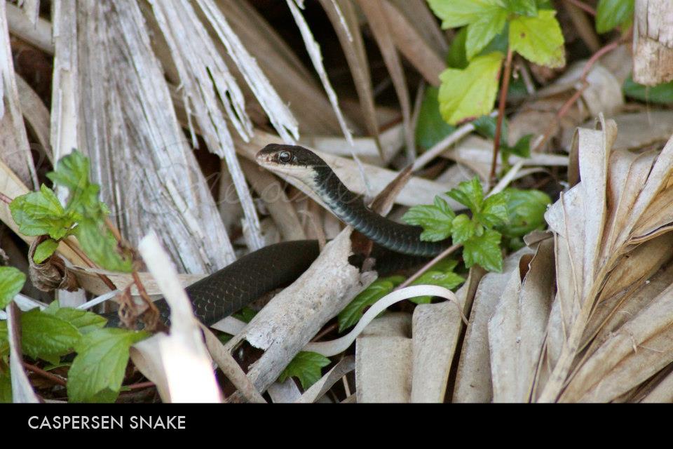 Caspersen Snake.jpg
