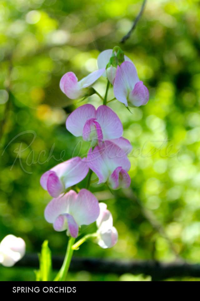 Spring Orchids.jpg