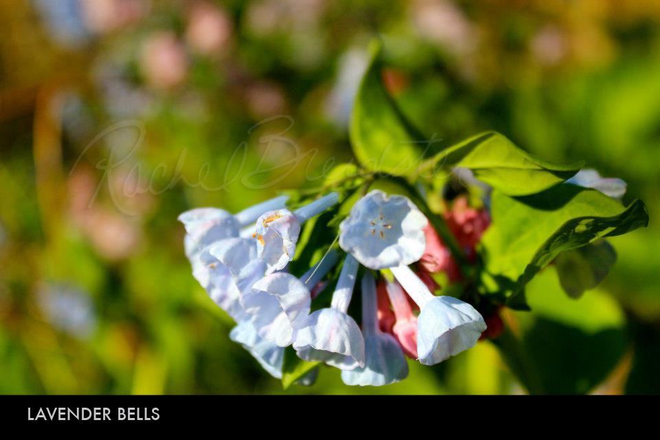 Lavender Bells.jpg