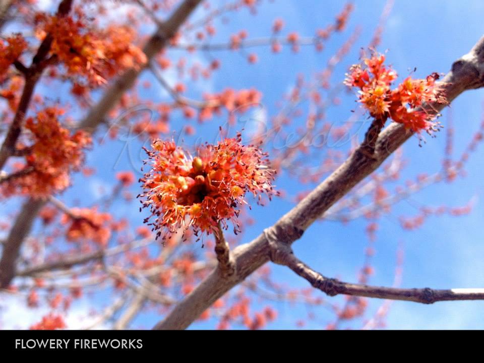 Flowery Fireworks.jpg
