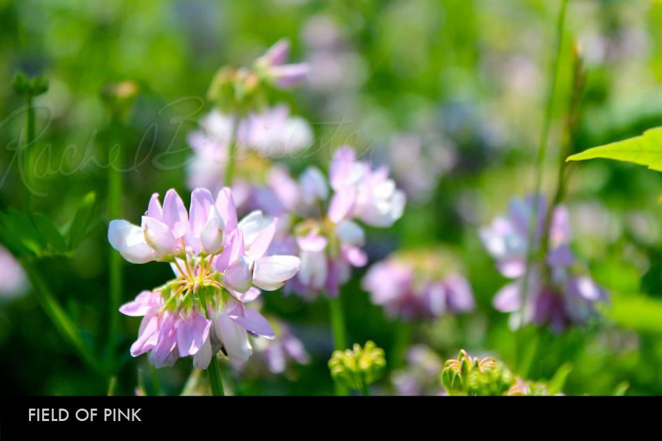 Field of Pink.jpg