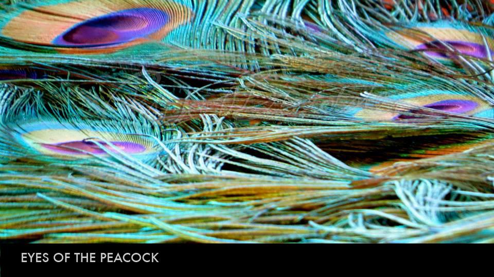 Eyes of the Peacock.jpg