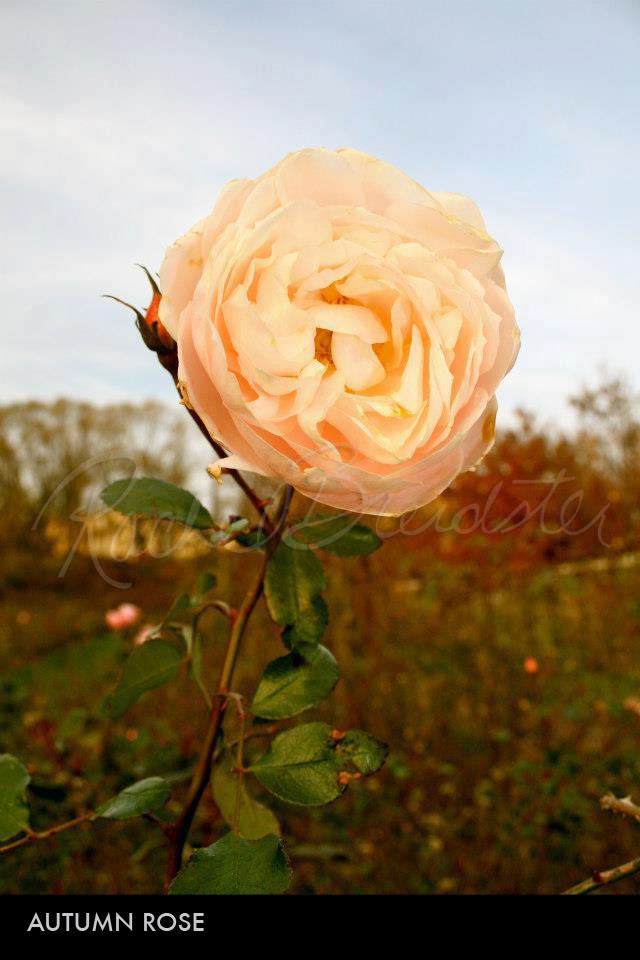Autumn Rose.jpg