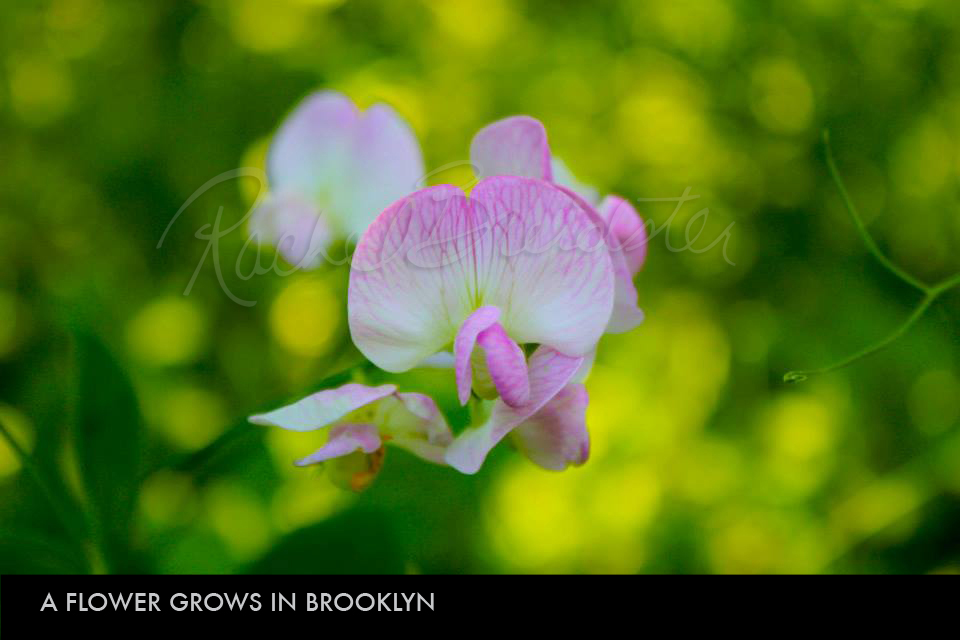 A Flower Grows in Brooklyn.jpg