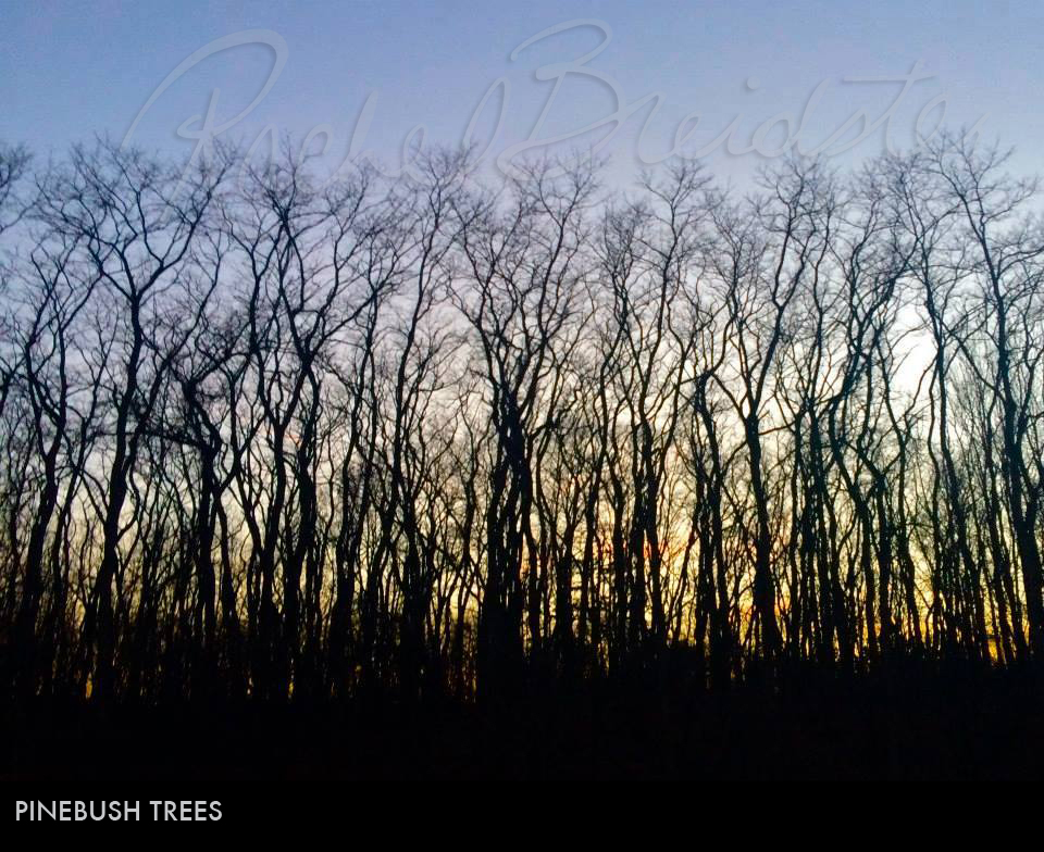 Pinebush-Trees2.jpg