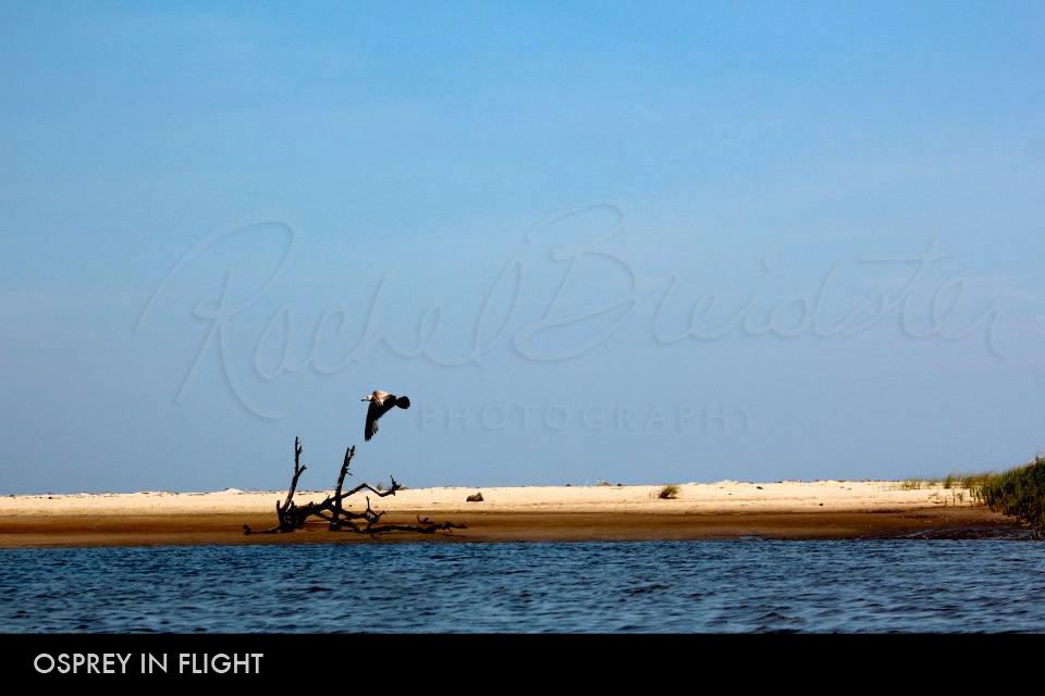 osprey-in-flight2.jpg