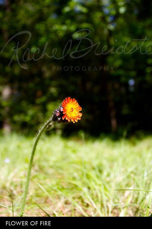 Flower-of-Fire2.jpg