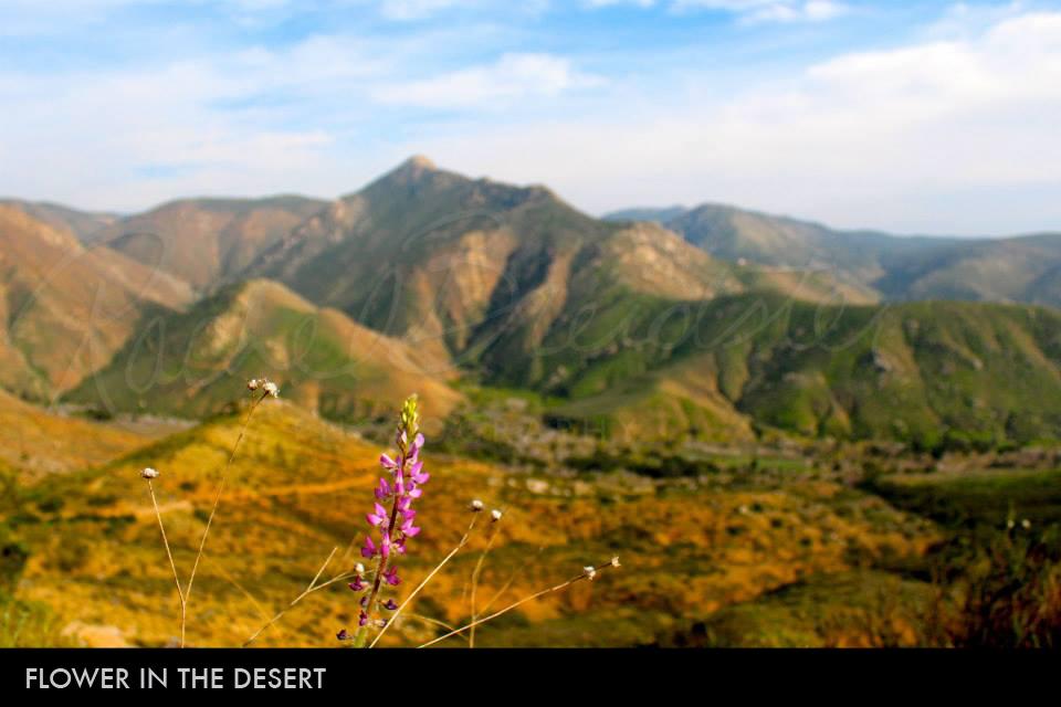 Flower-in-the-Desert2.jpg