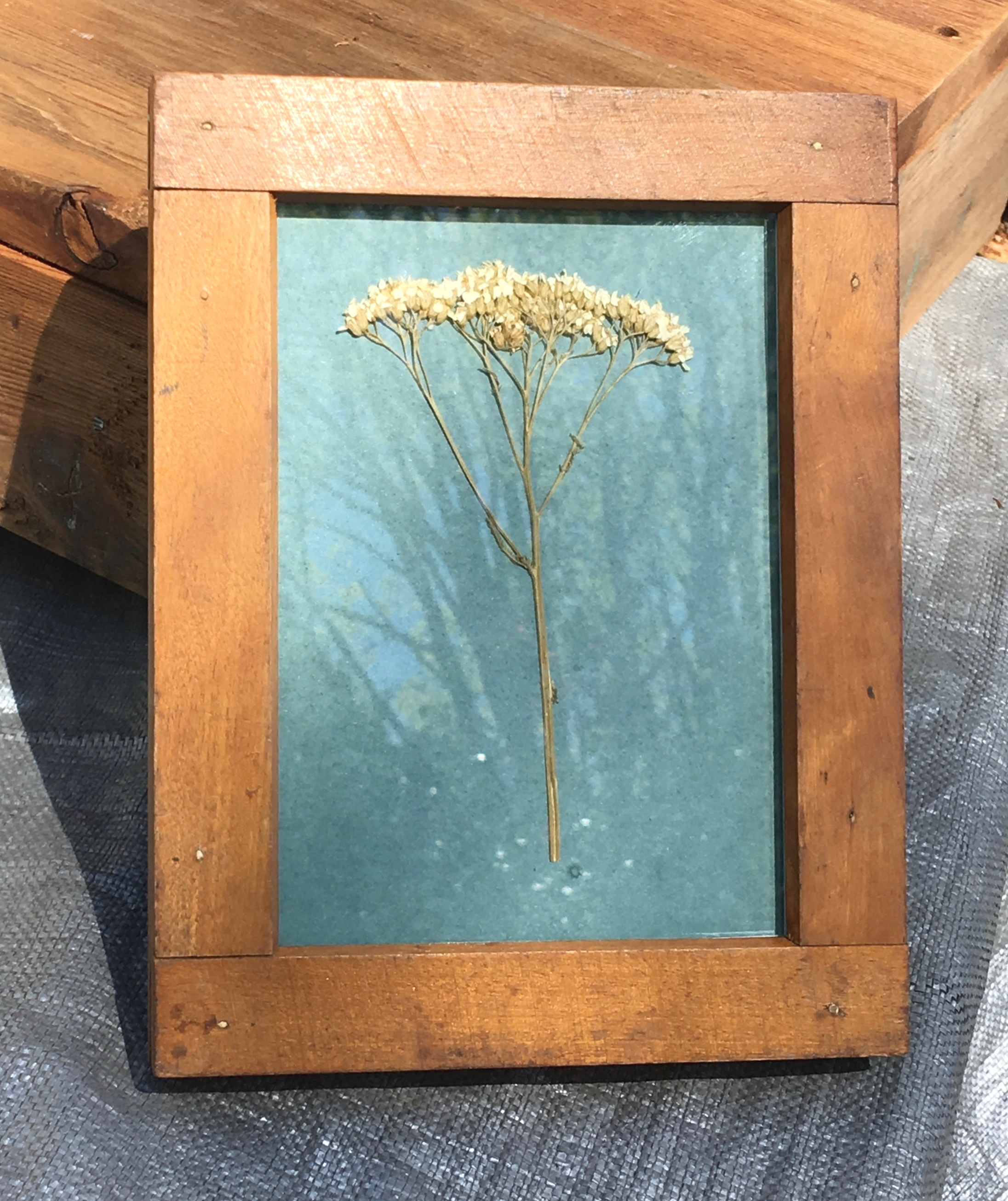 Yarrow being exposed in the sun, antique frame.
