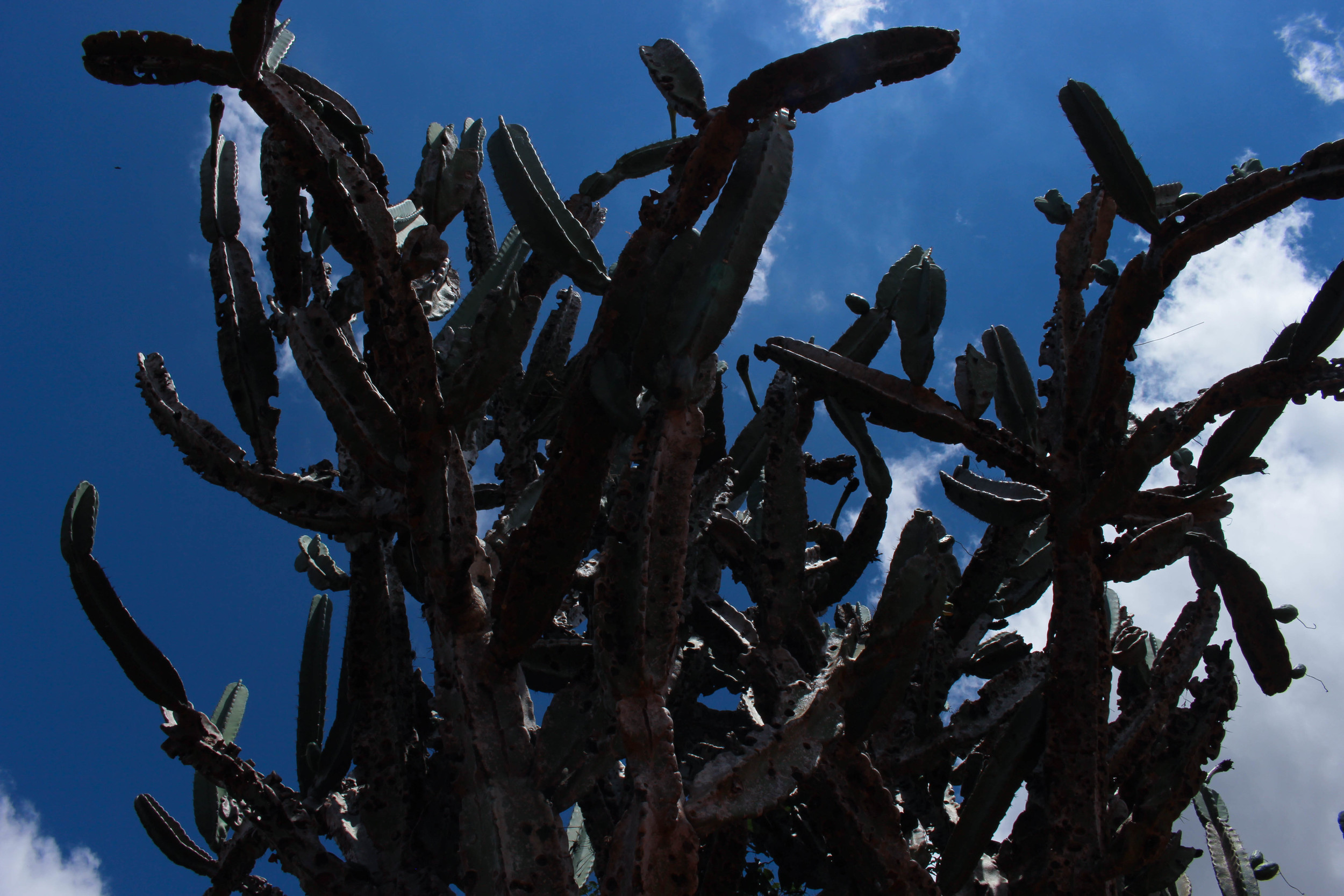 These giant cactus trees were everywhere in that region.