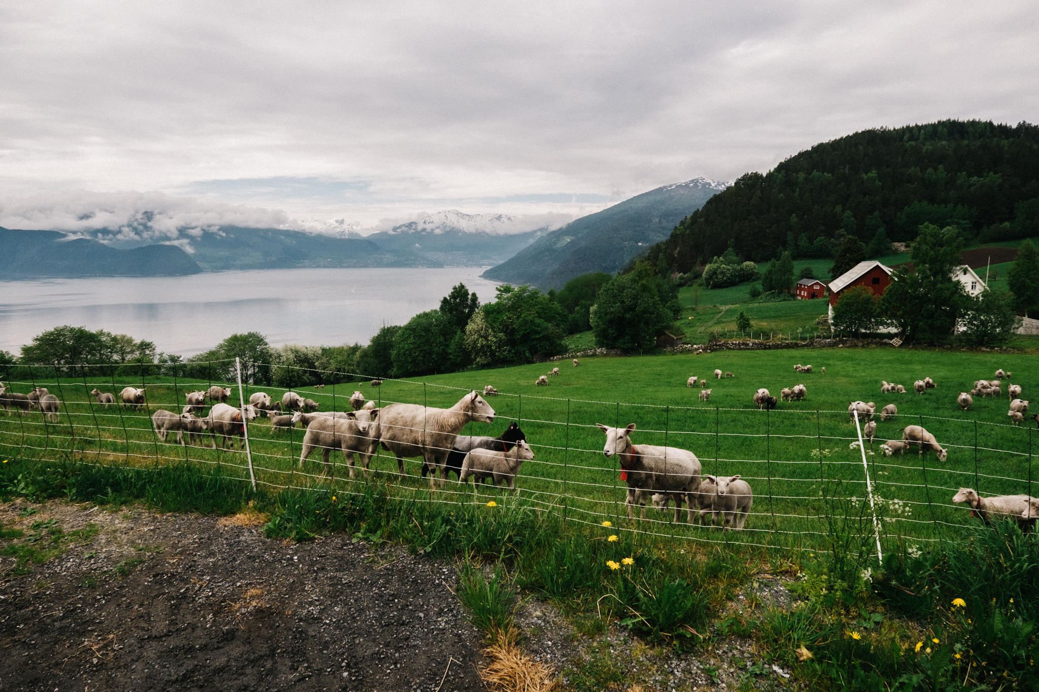 Sheep in Norway. Photo by David Leøng